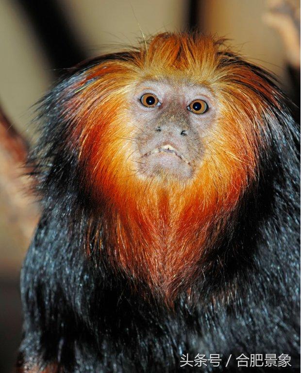 三、金头猴(数量:70只) 金头猴栖息地为越南,现剩余少于70只,是世界濒临灭绝的动物之一。在2000年,这个灵长类动物被开始保护起来。它仍然是处于严重危险之中,但其数量在2003年上升为几十年来第一次,但仍然不乐观。