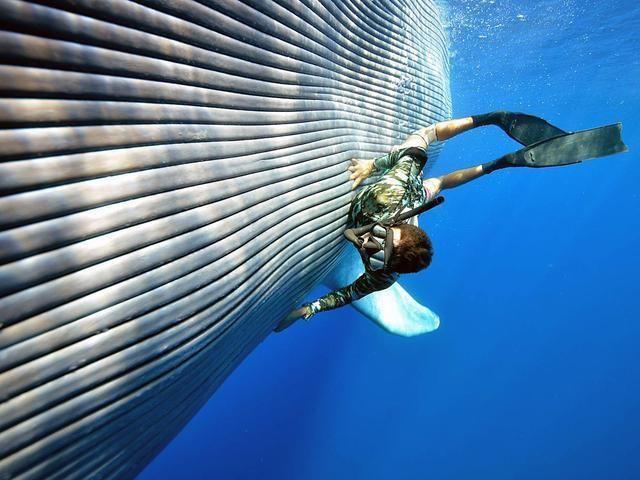 成年蓝鲸唯一的天敌就是人类,成年蓝鲸尾鳍可以直接拍死虎鲸或者鲨鱼这种海洋里的大型捕食动物,所以蓝鲸在成年后在海洋里就是无敌的存在 以前没事就看看动物世界,记得动物世界里讲过,蓝鲸会经常妨碍虎鲸捕猎呢,虎鲸捕猎海豹,它就去捣乱,虎鲸群都要被它气死了,蓝鲸表示:就是喜欢你气的要死,又对我无可奈何的样子,哈哈哈