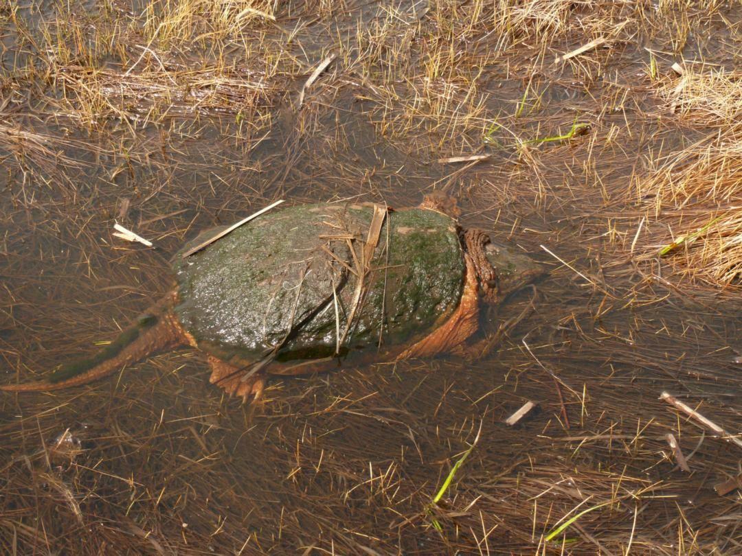 揭秘冬眠中的乌龟是怎样呼吸,完成氧的交替的