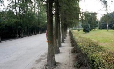 路边树木安呼吸道 路旁树木的树根位置露有白色的塑料