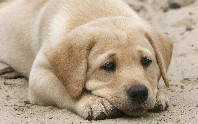 大型犬髋关节发育不良,走路都成问题,而且纯种狗狗更易患