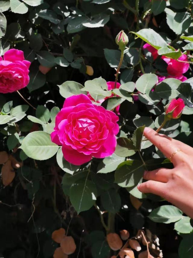 几种特耐热、耐晒的月季花品种,种南方能旺盛开花,越晒开得越好