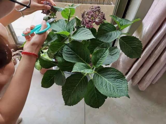 买来的绣球花开花后,就不断黄叶掉叶,这三个养护技巧可以解救它
