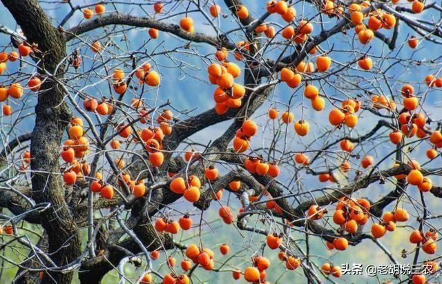 """柿子虽好吃,但柿子果的""""孕育""""过程真的很难,不信你看看接穗追肥"""