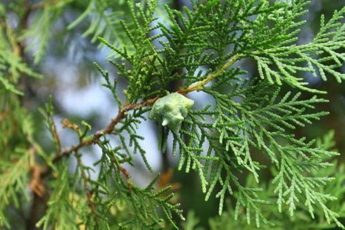 树冠广.  柏树叶和侧柏叶区别图片—— 1,柏树叶是圆润饱和的感觉.图片