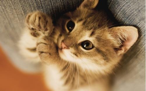 如今,想要养只猫咪的人越来越多了。有些人想养一只品种猫,却不想花钱去正规的猫舍购买,于是就找到了所谓免费领养品种猫的帖子,结果等待他们的却是上当受骗。今天,我就来深扒网络上那些免费领养品种猫的黑幕!  首先,骗子们会在各大平台发布领养信息,一般都会说自己怀孕、搬家、换工作等等理由无法继续养猫咪,希望找一个有爱心的人免费送养等等。再配上超级可爱萌死人的猫咪照片,让人恨不得立马就冲过去狂亲。如下图所示:  这类的骗子非常专业,当你联系他们以后,他们通常询问你一些养猫知识,提出各种领养要求,让你误认为他真的是