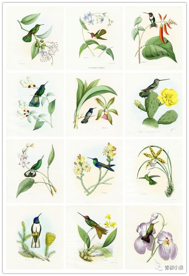 园青椒小课从120幅精美蜂鸟绘画作品中精选了 [ 十二只蜂鸟 ],用水彩
