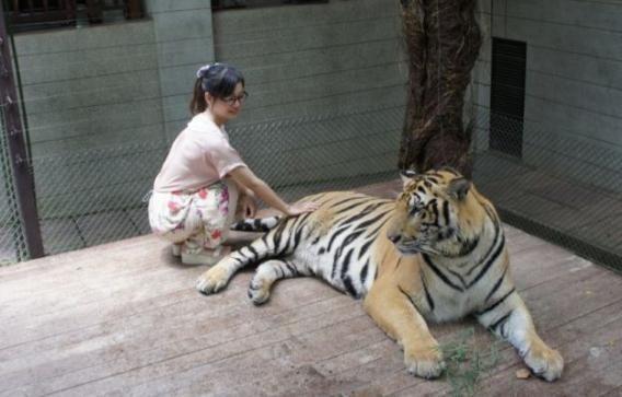 老虎幼崽从小养到大,它会攻击我吗?