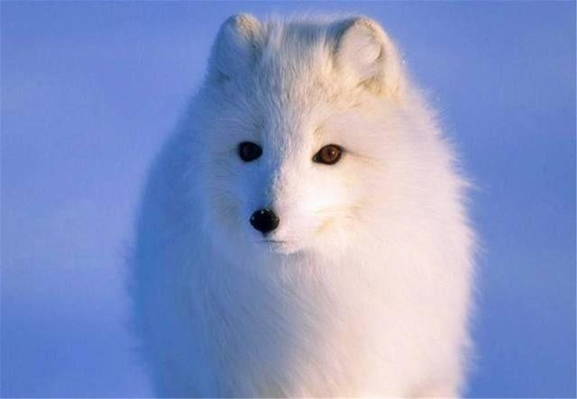 十二星座的专属萌宠,我的是白狐,你属于哪一种