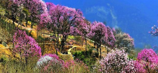 绵阳北川药王谷_四川绵阳北川药王谷是辛夷花具有世界独一无二的美.