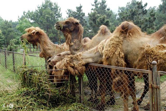 合肥野生动物园动物园以动物主题与酒店共享人类情趣性张家港地球图片