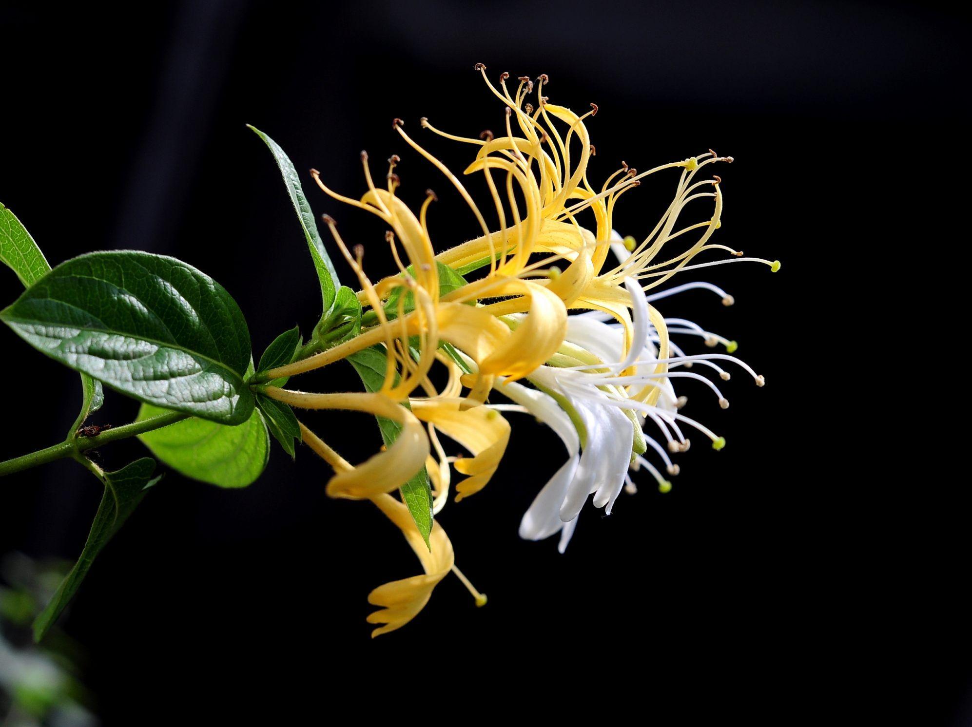 金银花施用有机肥的技术