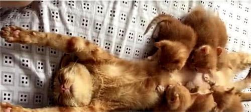 猫表情躺着喂奶时,被小奶猫主人围住,团团笑称妈妈大全包肥肥的图片图片