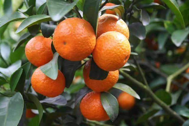 沙糖桔树怎样修剪才规范夏季沙糖桔树怎样修剪才规范夏季对沙糖桔