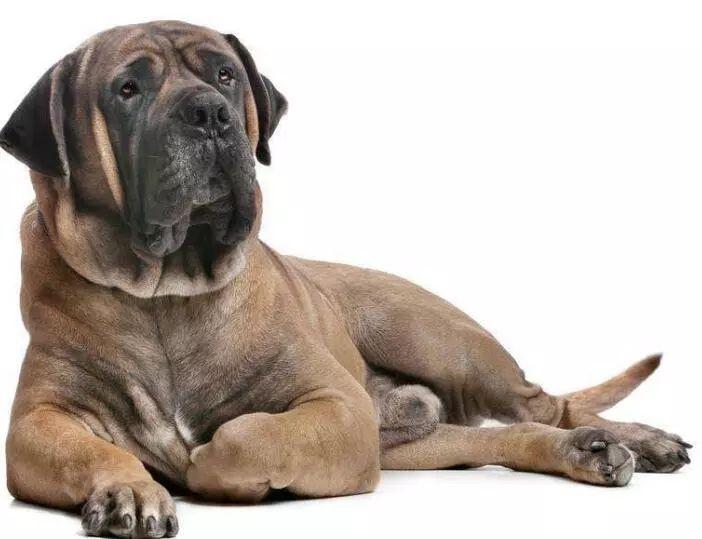 外号非洲黑珍珠的恶魔犬,秒杀藏獒,在非洲已经横行千年