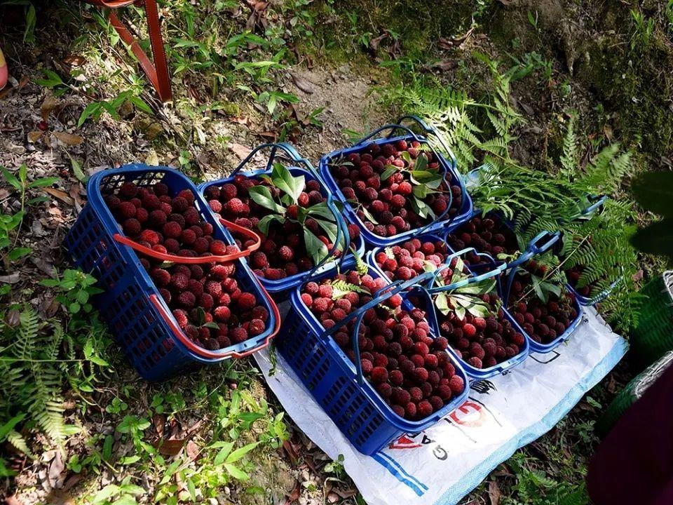 农村一种没有皮的水果,国内常烂一地没人要,出口国外却成高级货