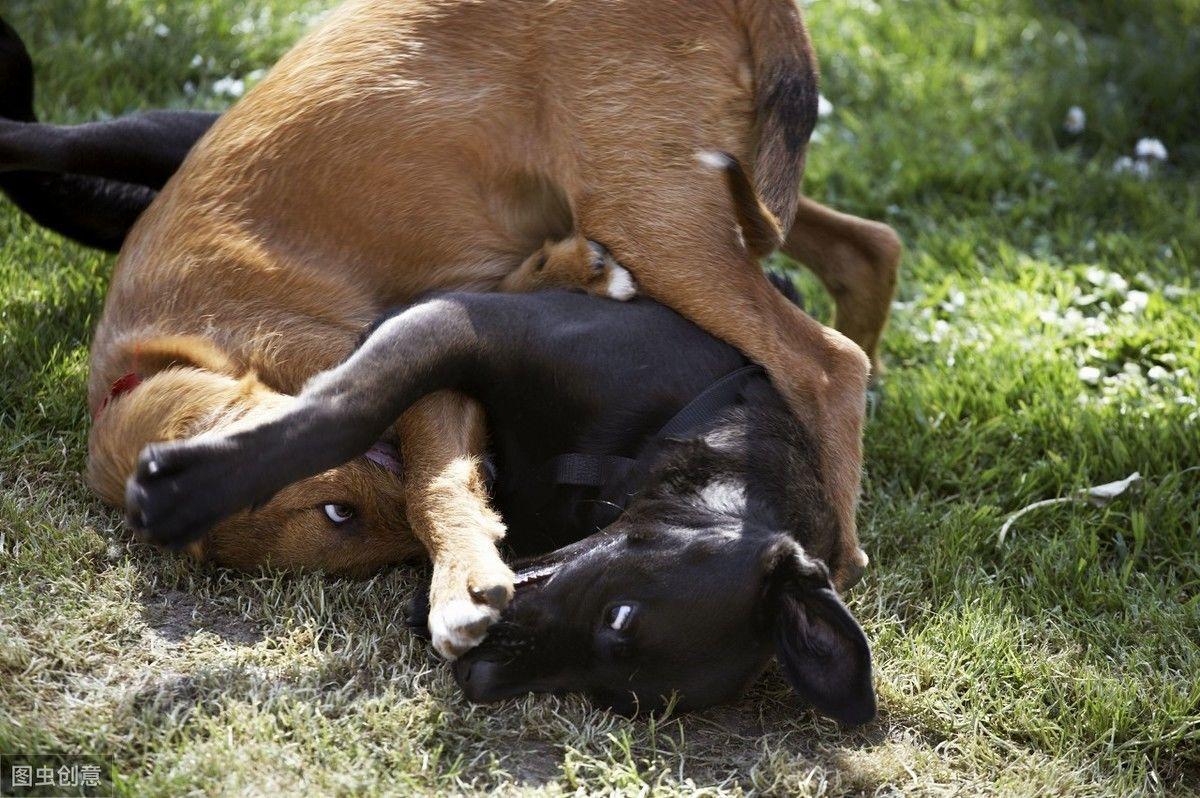 狗狗跟坏狗玩会打架,有这4种行为的狗少跟它玩,只会学坏