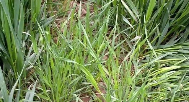 草铵膦这样用,3天死草,斩草除根,60天不长草