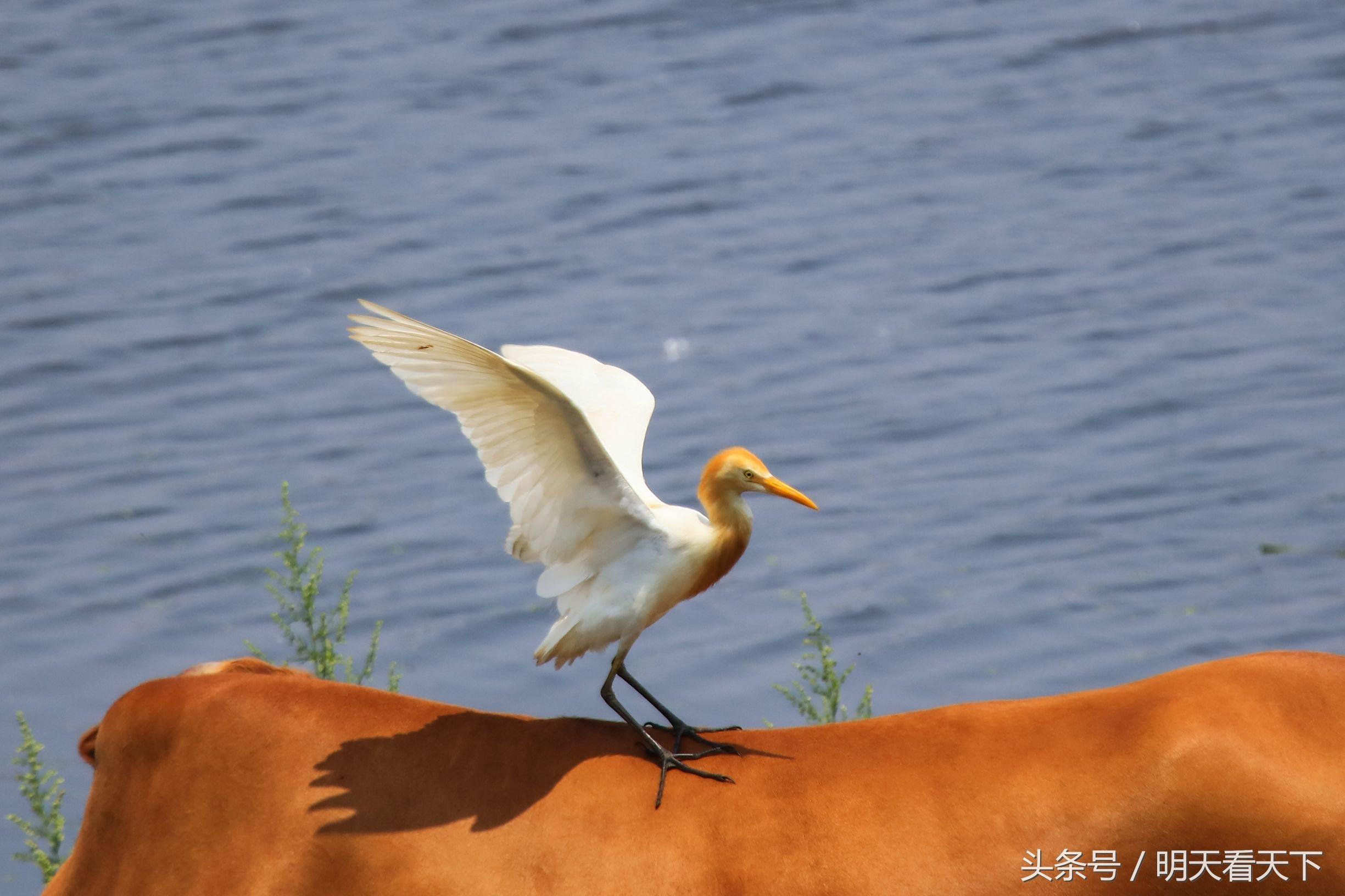 摄鸟手记:牛背鹭站人家背上想干啥干啥却被温