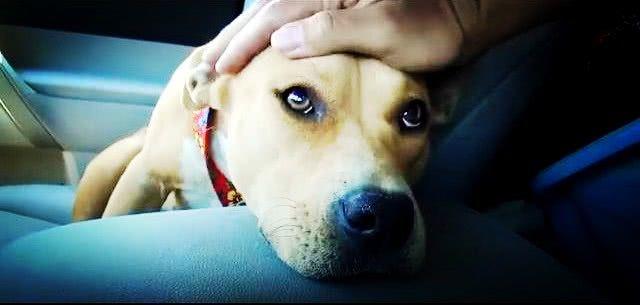 比特犬被a视频在线,整日伤心哭泣,视频这时他伸遗弃口正在球图片