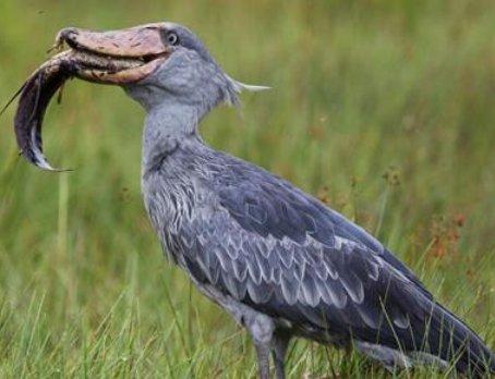 世界上最懒的鸟类,这种鸟因太懒险要灭绝,最爱的食物竟然是鳄鱼
