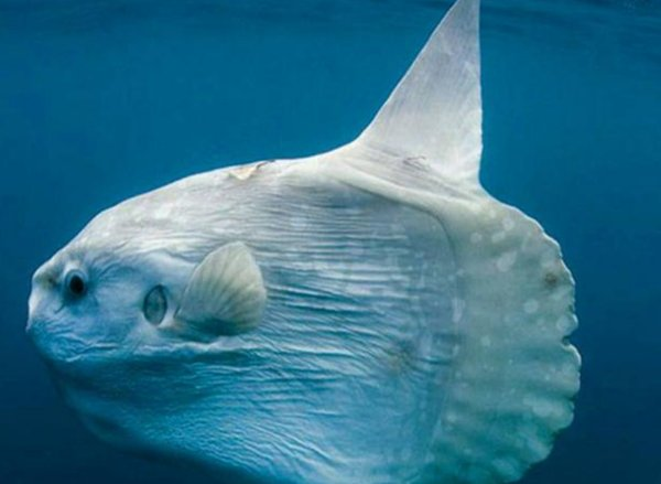 """世界上最会""""装死""""的鱼,连游泳都不会,快被吃掉了都不愿挪一下"""