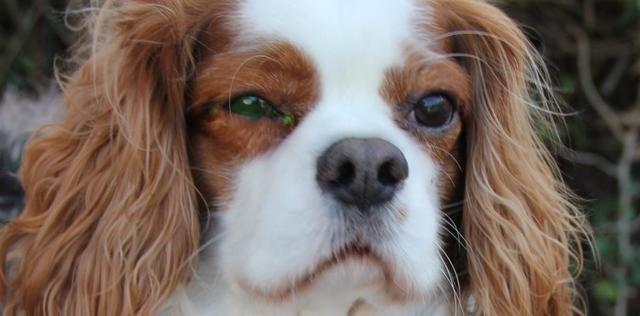 <b>狗狗的眼部异样不能忽略,处理不当分分钟致盲</b>