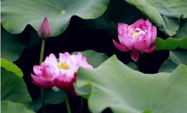 清水出芙蓉,天然去雕饰, 这是荷花的真实写照。时值夏季,济南植物园水生植物园内荷花、睡莲等水生花卉竞相绽放,进入最佳观赏季节。 荷花(学名:Nelumbo nucifera Gaertn.) 属睡莲科,是莲属多年生水生草本花卉。 形态特征:地下茎长而肥厚,有长节,叶盾圆形。花期6至9月,单生于花梗顶端,花瓣多数,嵌生在花托穴内,有红、粉红、白、紫等色,或有彩纹、镶边。坚果椭圆形,种子卵形。 生态习性:荷花喜湿怕干,喜相对稳定的静水,不爱涨落悬殊的流水。荷花喜热,栽植季节的气温至少需15以上,入秋气温