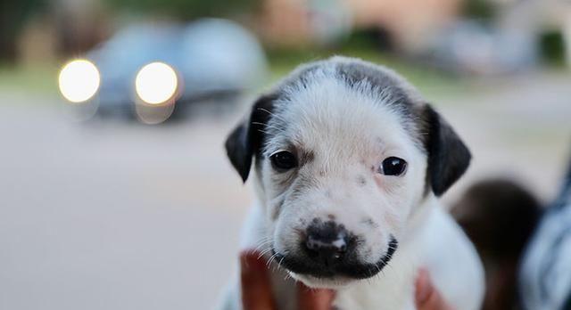 小奶狗一出生拥有八字胡,主人大喜以为得宝,细看才知被骗了