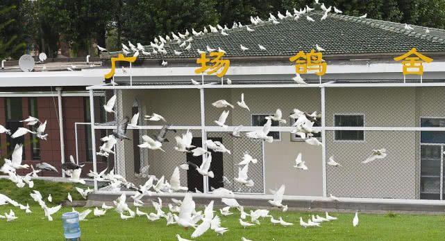 长春文化广场再现百对鸽景 引市民围观