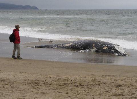 美國灰鯨大規模死亡 尸體都沒地方放了