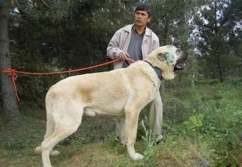 9,中亚牧羊犬