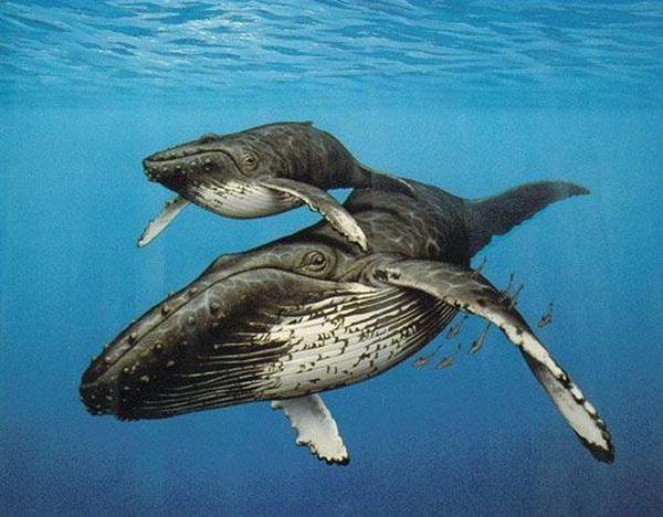 鲸鱼的祖先慢慢的在浅海扎稳了脚跟,在这食物供应稳定的环境之下,罗德候鲸进化为了两个品种。其中一种便是古蜥鲸(龙王鲸)。那时它们的体态已经从最开始的狼大小变到了足有6吨以上的重量,体态袖长,适合在浅摊捕猎大型鱼类为生(如鲨鱼)。  龙王鲸的视力,听力和游泳技巧大大提升,它庞大的身躯需要更多的食物,所以一些在浅滩的陆地动物也会被它食用。  但是在3500万年前,地壳运动导致南美洲脱离南极向北飘去,温暖的洋流被冻结在南极,全球海平面下降,浅海区域骤减,地球温度下降导致微生物减少,使得浅滩的鱼类越来越稀少,想要