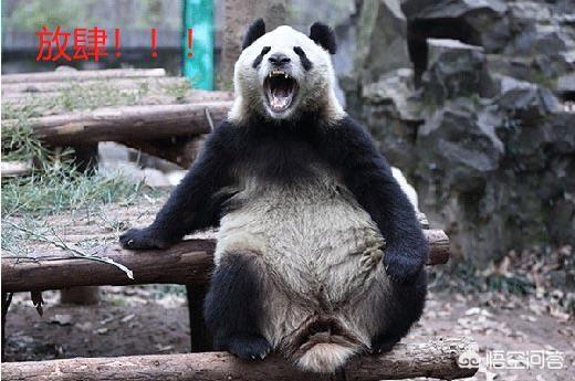 大熊猫发起怒来,有多可怕?动物园里有什么动物能够制服它?