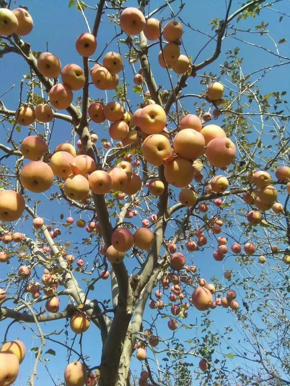 哪里的冰糖心苹果更好吃,在新疆摘20年苹果之后,我终于知道了
