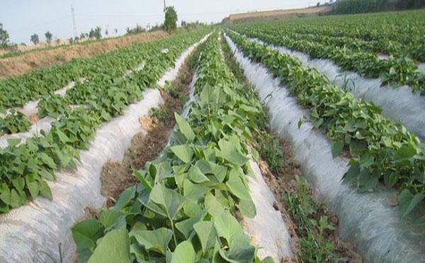 如果红薯温度达到40度,能正常生长发育吗?为什么?红薯生长