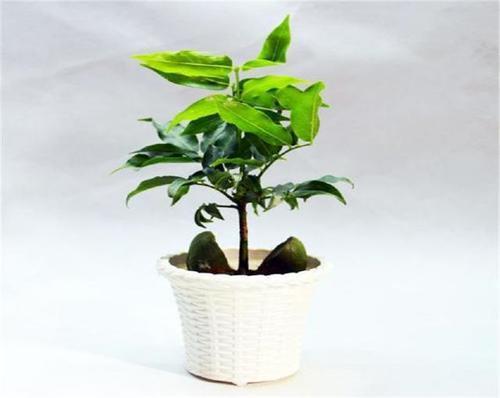 养护开心果盆栽,记住五个要点,让它生长的美丽又旺盛! - 武汉老徐 - 武汉老徐的博客