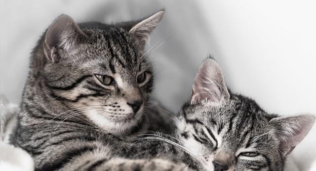 母猫发情时会怎样?半夜总是不停地喵叫,惹得周围公猫们大打出手