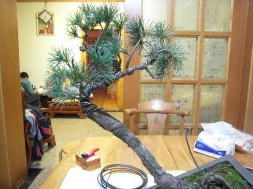 看上图是园艺师通过绑蔓蟠扎然后拿弯以后的效果,打造出三角形塔形