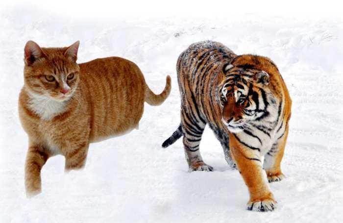 你是不是虎_你是否设想过,如果猫和老虎一样大,这个世界将会怎样?