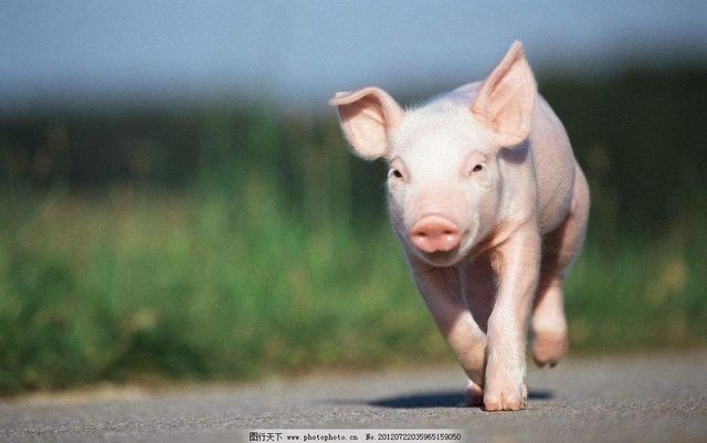 生肖猪最合适的伴侣?图片