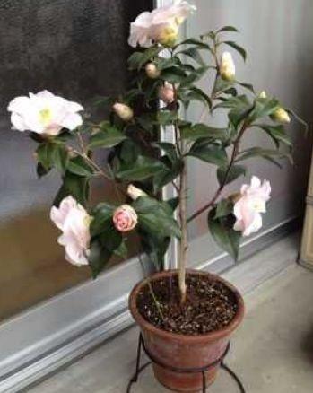 这样的枝条就能够保证茶花的成活率,然后保留茶花的2片花叶,接着扦插