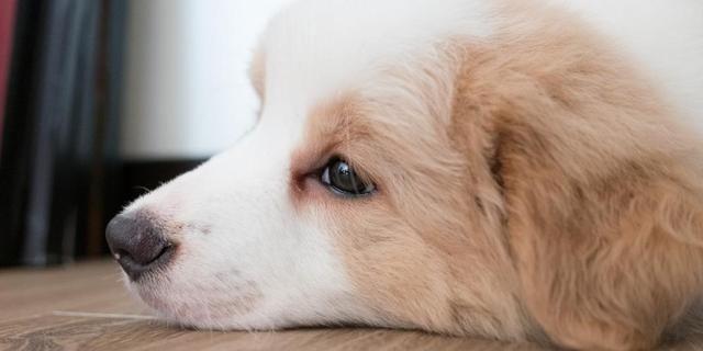 如果狗狗最爱的主人离开了,狗狗会挂念多久,是一辈子吗?