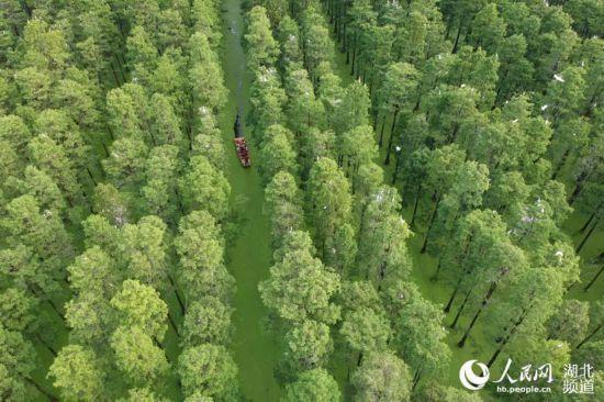 武汉涨渡湖湿地:水上森林风景如画