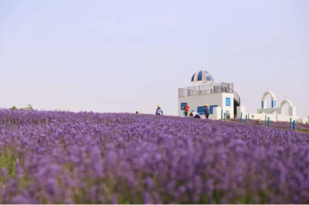 虽然普罗旺斯很远,但好在有苏州半岛薰衣草,创新的梯田式薰衣草花海