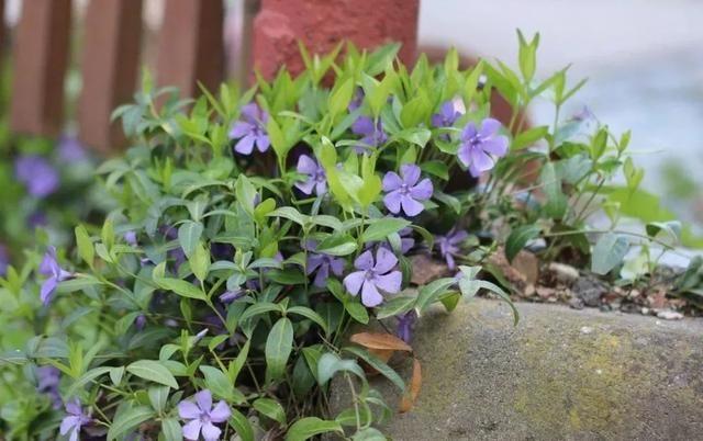 种地里会不断蔓延的蔓长春,养遮阴的阳台可垂盆生长,开蓝紫色花