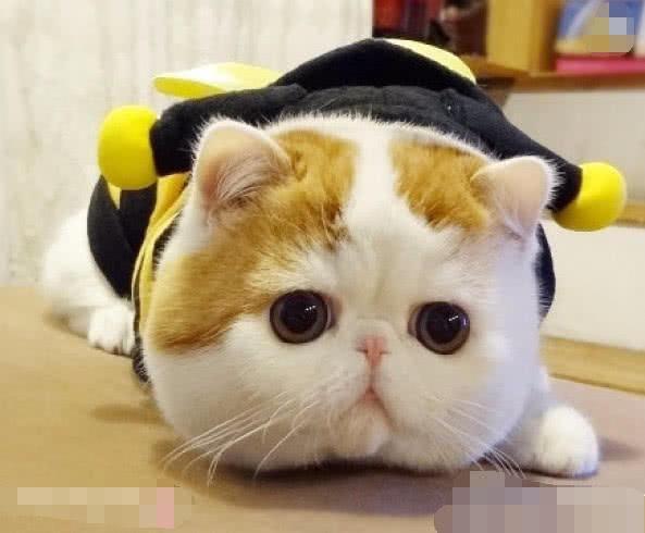 胖胖的加菲猫是个可爱,粘人的小宝宝,只要你开心什么都好说