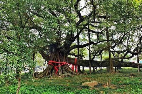 大榕树:阳朔大榕树位于阳朔县的月亮山景区,是一棵千年古树,电影