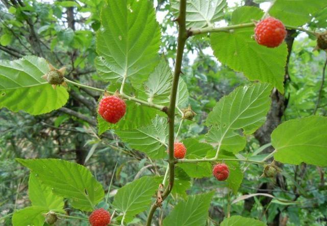 此红色野果,只在山坡荒地能找到,若见到是幸运,你认识吗