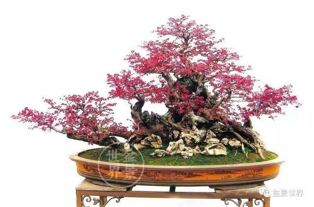 野生的红花檵木已经很少了,红花檵木盆景要怎样制作及
